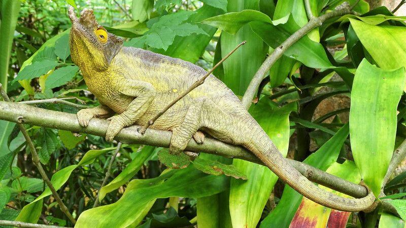 Chamäleon auf Madagaskar © Diamir