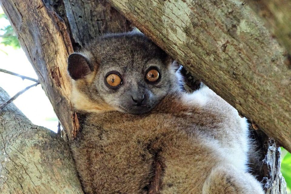 Wiesellemur auf Madagaskar