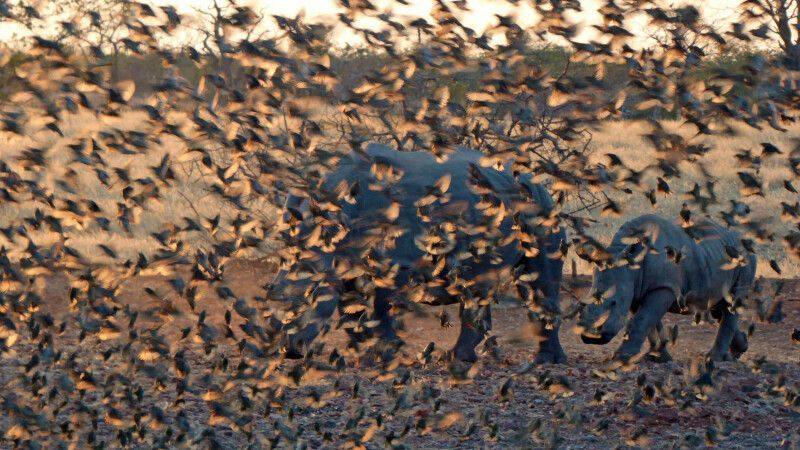 Ein Schwarm Vögel verdeckt zwei Nashörner © Diamir