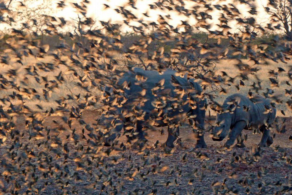 Ein Schwarm Vögel verdeckt zwei Nashörner