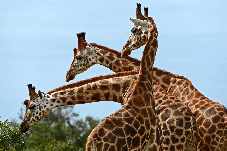Giraffentrio in Uganda