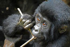 Kauender Gorilla in Uganda