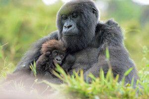 Gorilla hält sein Jungtier liebevoll an der Brust