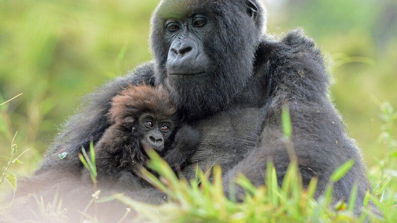 Gorilla hält sein Jungtier liebevoll an der Brust © Diamir