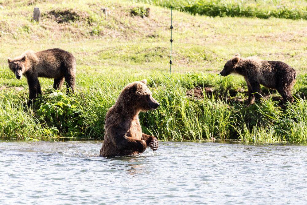 Gruppe Braunbären angelt am Fluss