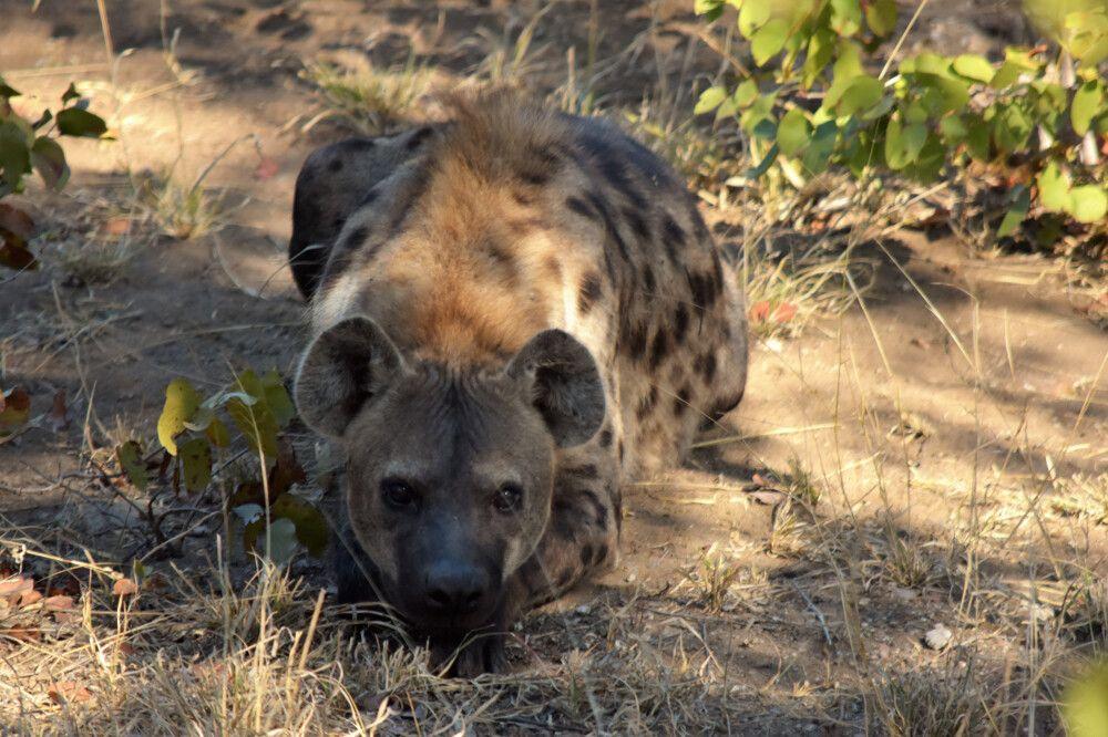 Hyäne im Krüger-Nationalpark