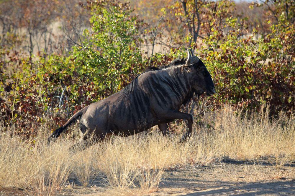 Gnu im Krüger-Nationalpark
