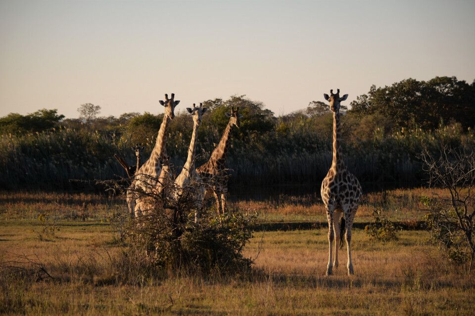 Giraffengruppe im Matobo-Nationalpark