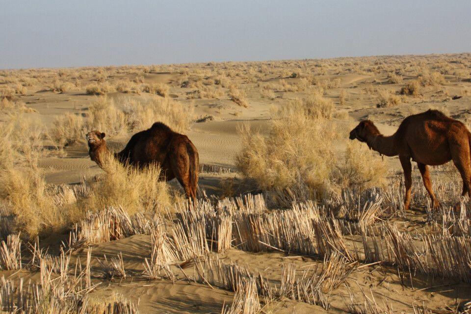 Kamele in der Karakum