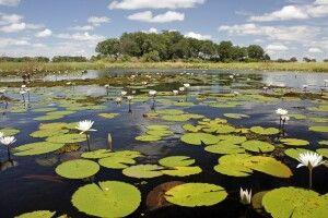 Seerosen im Okavango-Delta