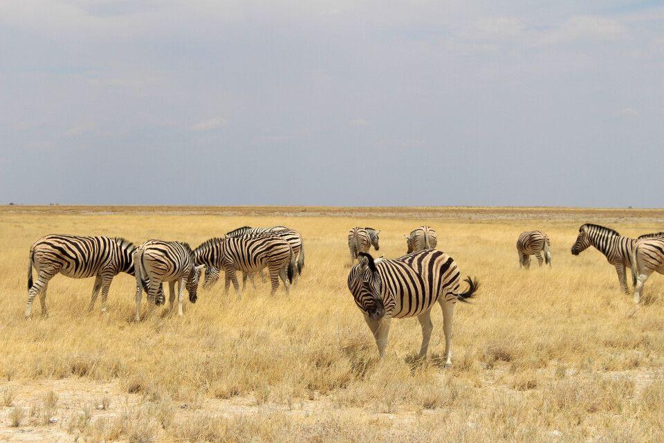 Zebraherde im Etosha-Nationalpark