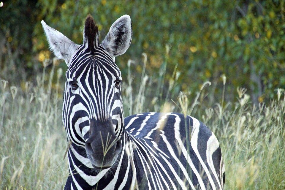 Zebra im Okavango-Delta