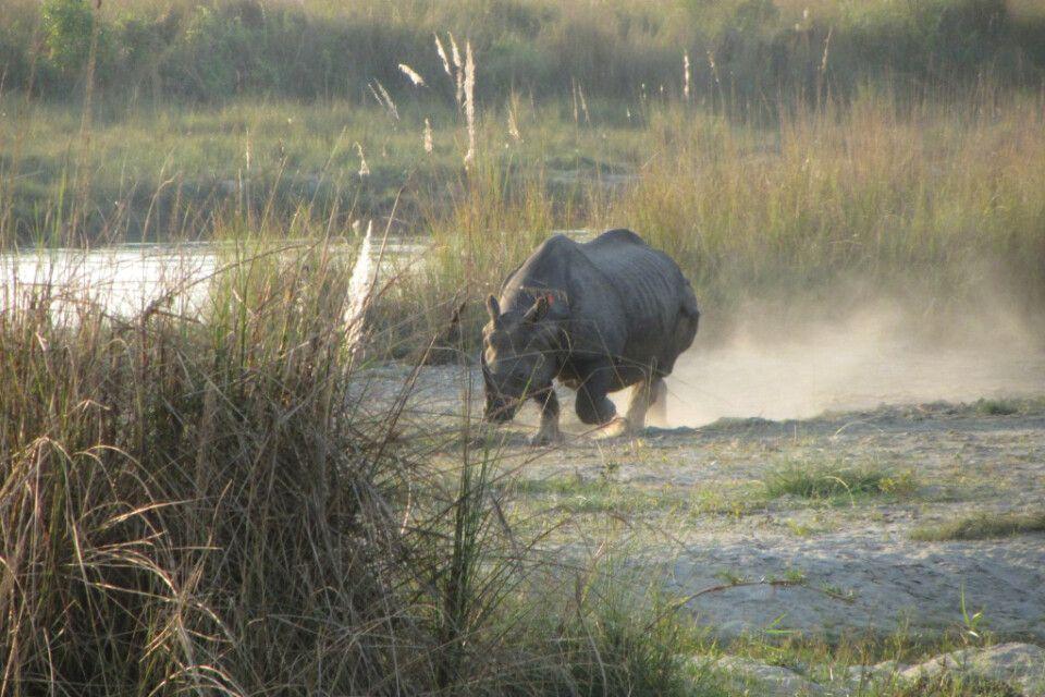Nashorn im Chitwan-Nationalpark