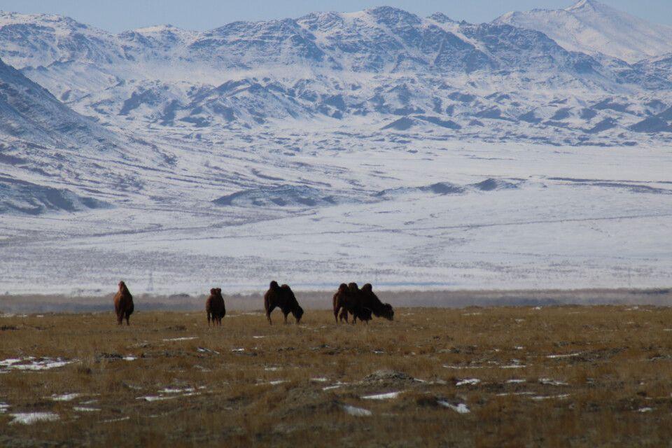 Kamele vor den Jargalant-Bergen