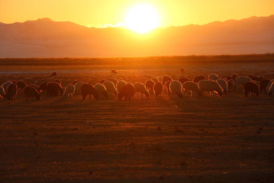 Schafherde im Sonnenuntergang