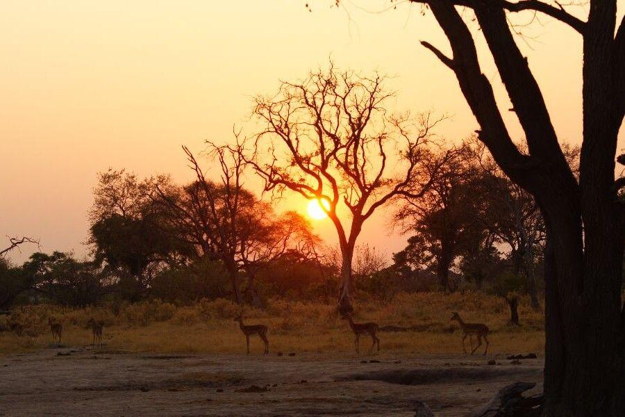 Impalas im Sonnenuntergang im Moremi