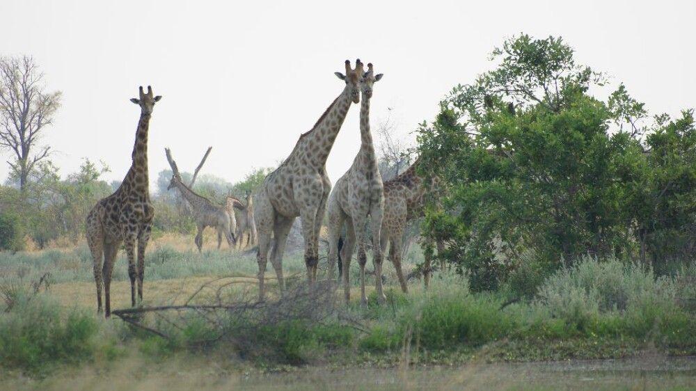 BOTSWC_031010_4ESW_07_Okavango_Delta_Giraffen.JPG