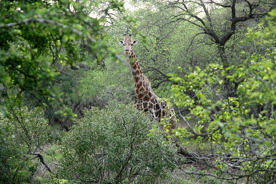 SUESWL_301010_4PST_23-Im-Mkuzi-NP-Giraffe.jpg
