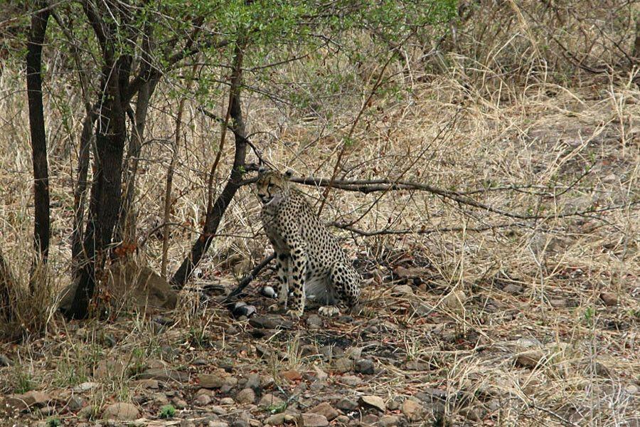 SUESWL_301010_4PST_05-Im-Krueger-Nationalpark-Leopard.jpg