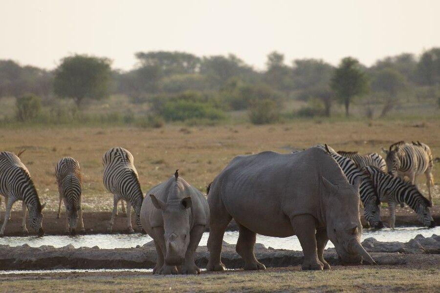 Breitmaulnashörner und Zebras im Khama Rhino Sanctuary