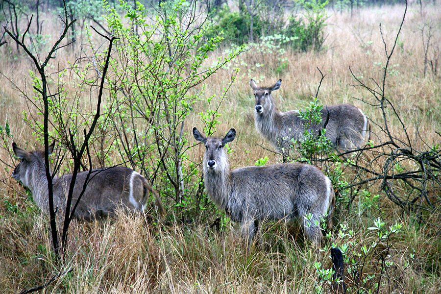 Nyalas im Krüger-Nationalpark