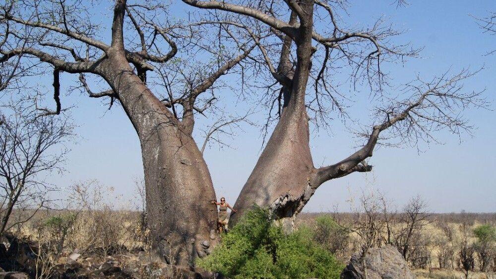 BOTSWC_031010_4ESW_24_NP_Savuti_Baobab_-_Afrikanischer_Affenbrotbaum_und_ich.JPG