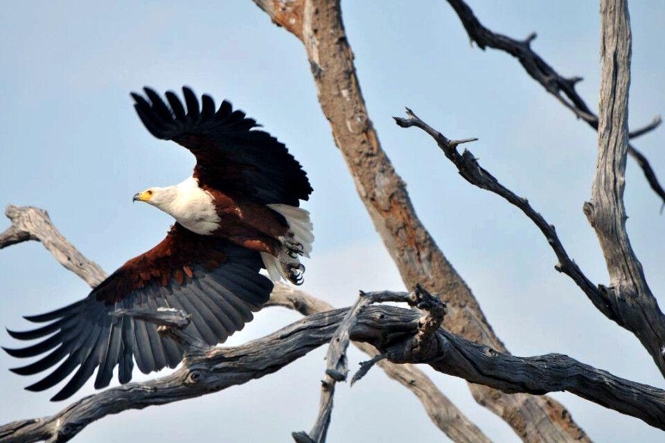 Seeadler im Chobe NP