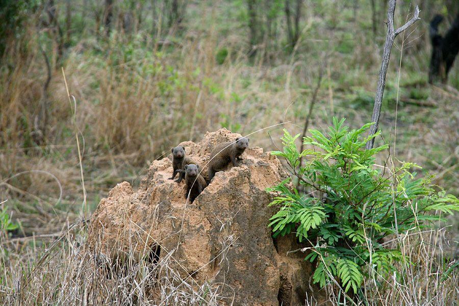Mangusten im Krüger-Nationalpark