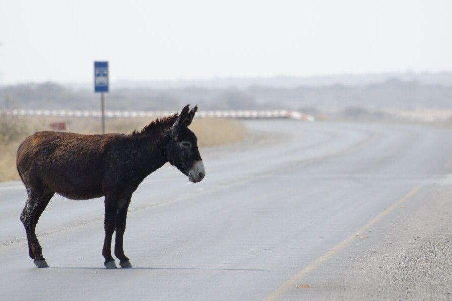 Mopipi, Esel auf der Strasse