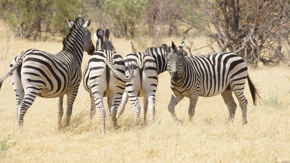 BOTSWC_031010_4ESW_21_NP_Moremi_Zebras.JPG