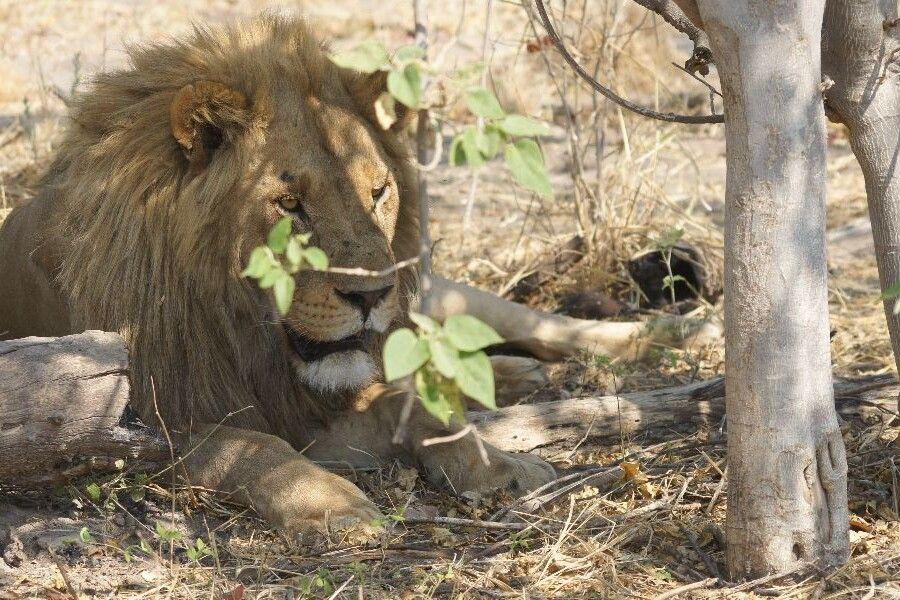 Löwe im Moremi-Wildreservat
