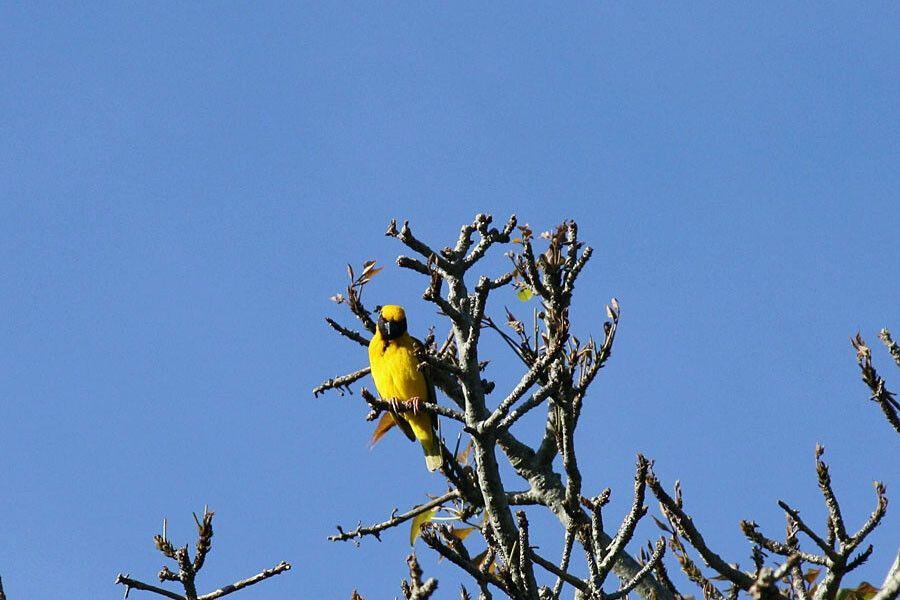 Webervogel in Kei Mouth