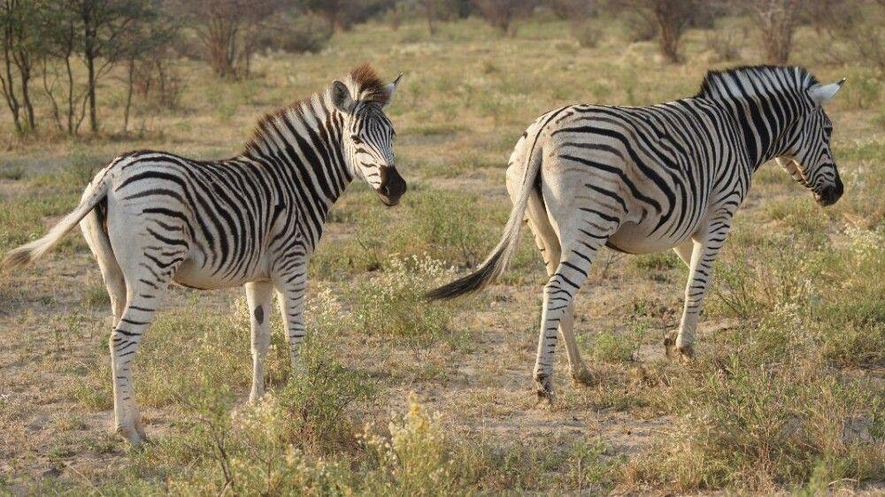 BOTSWC_031010_4ESW_01_NP_Khama_Rhino_Sanctuary__Zebras.jpg