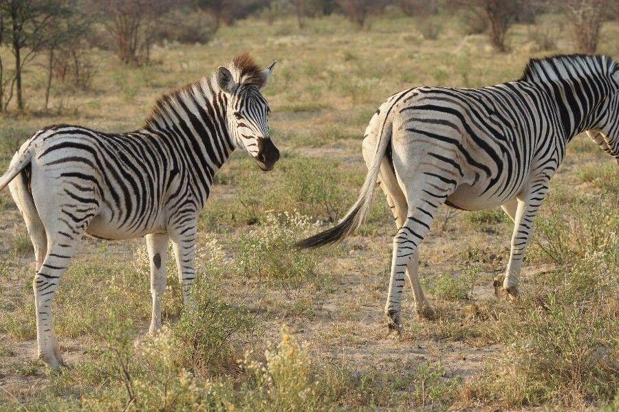 Zebras im Khama Rhino Sanctuary