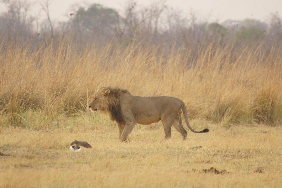 Savuti-Wildreservat: ein Löwe geht an unserem Camp vorbei
