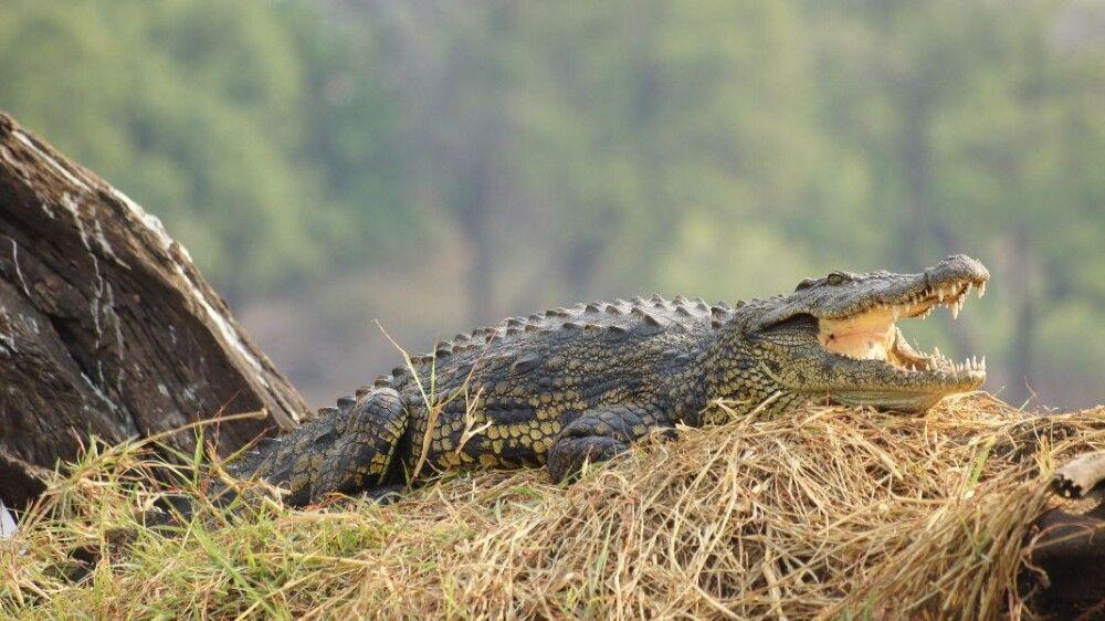 BOTSWC_031010_4ESW_38_NP_Chobe_Krokodil.JPG