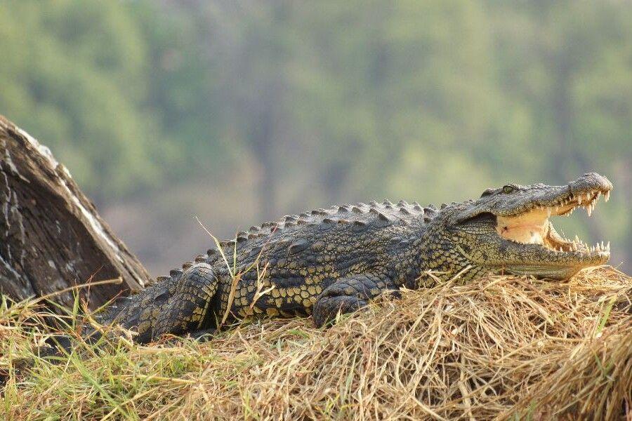 Krokodil im Chobe NP