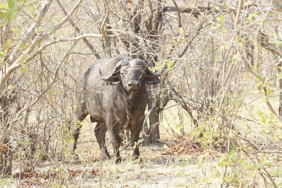 Savuti-Wildreservat, afrikanischer Büffel