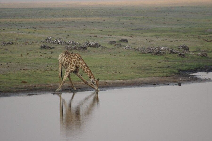 Giraffe im Chobe NP