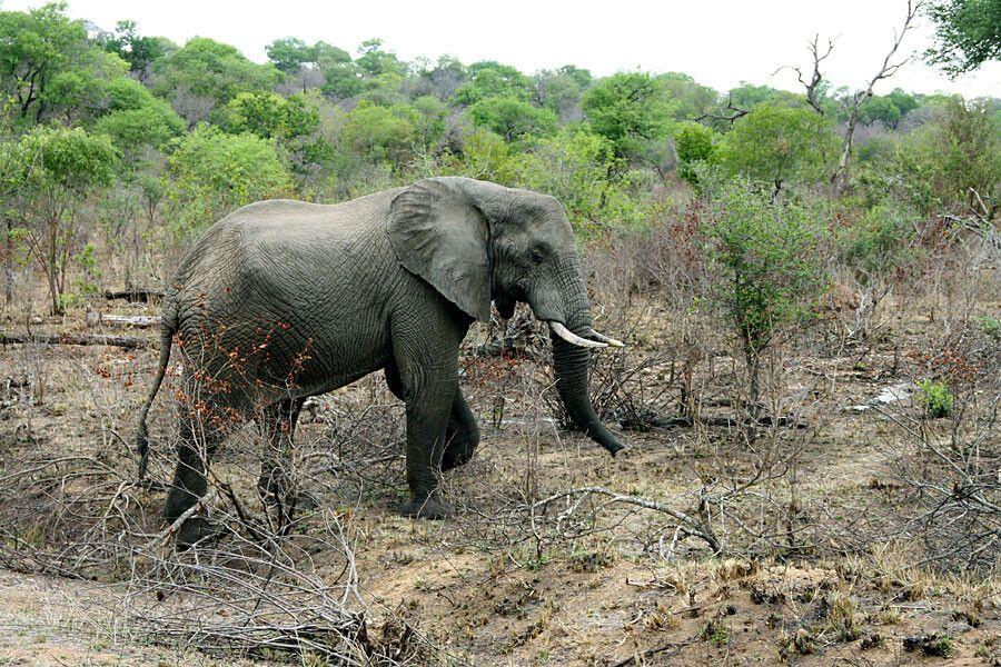 SUESWL_301010_4PST_04-Im-Krueger-Nationalpark-Elefant.jpg