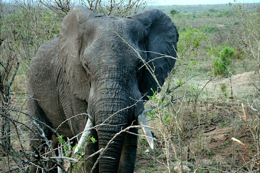 SUESWL_301010_4PST_17-Im-Krueger-Nationalpark-Elefant.jpg