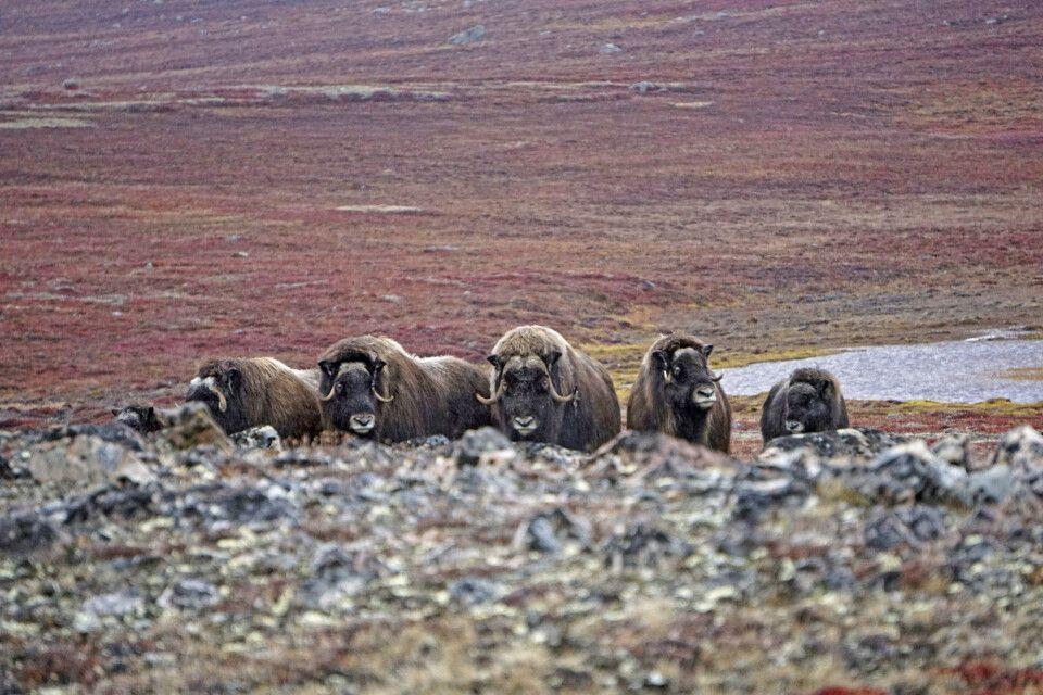 Eine Herde Moschusochsen