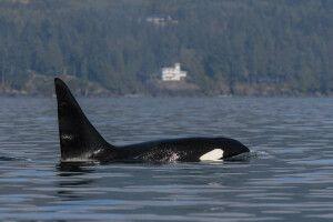 Orca vor der Küste