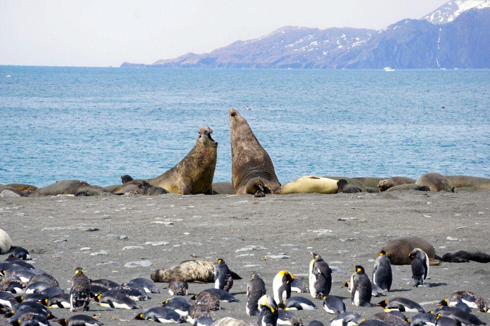 Kampf von Seeelefantenbullen am Strand