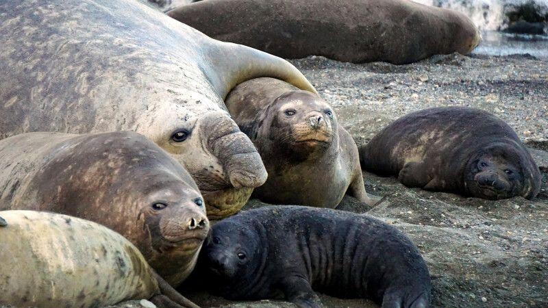 Familienfoto bei den Seeelefanten © Diamir