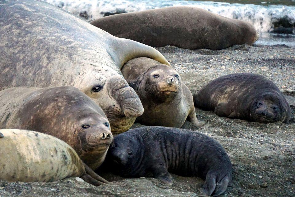 Familienfoto bei den Seeelefanten