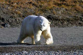Der Eisbär; König der Arktis