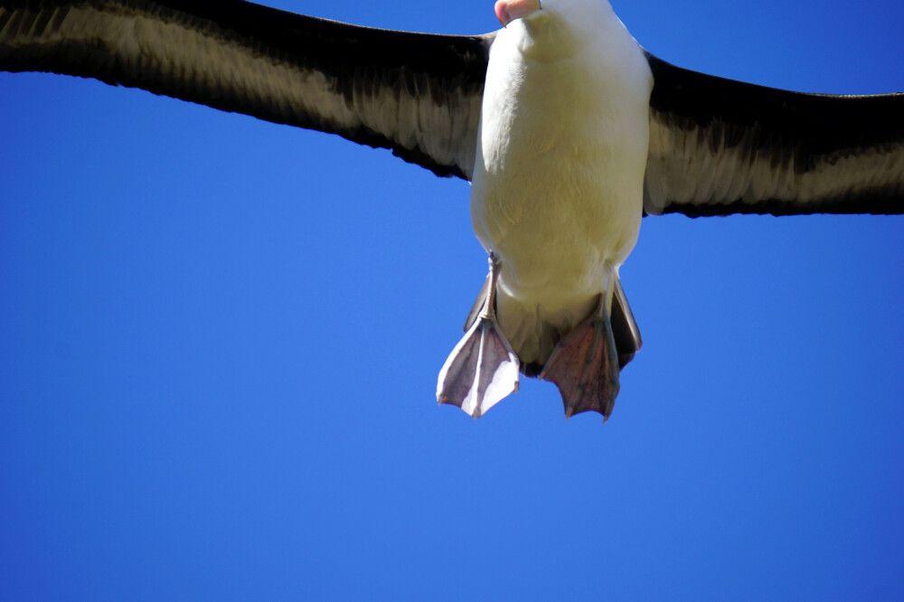 Riesige Albatrosse, so nah, das sie nicht mehr ins Bild passen