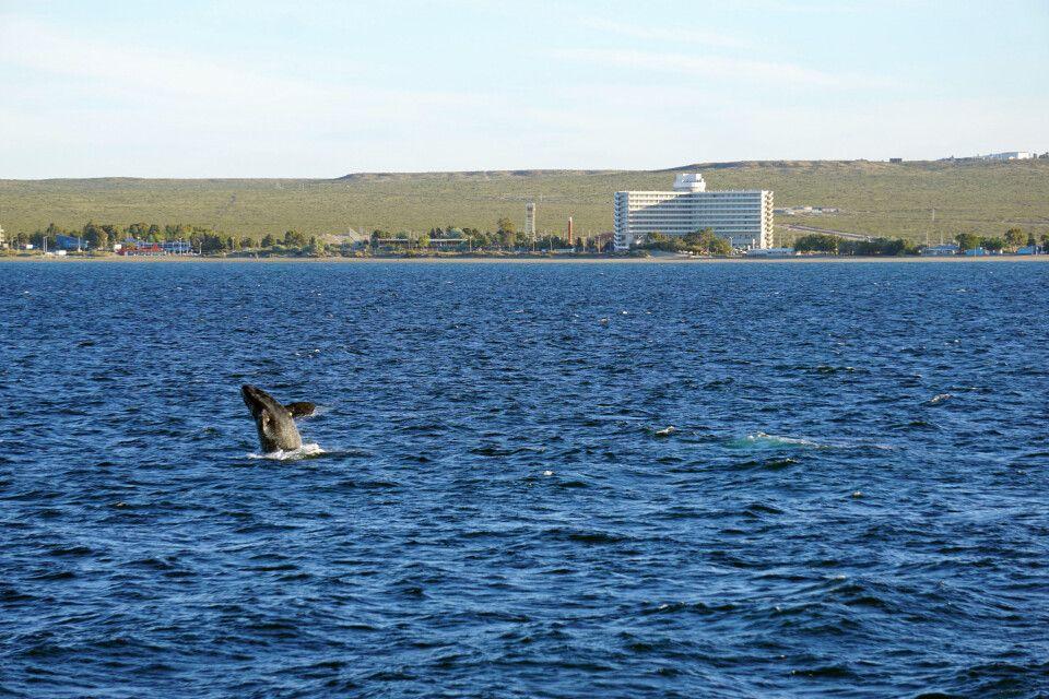 Glattwal vor Puerto Madryn