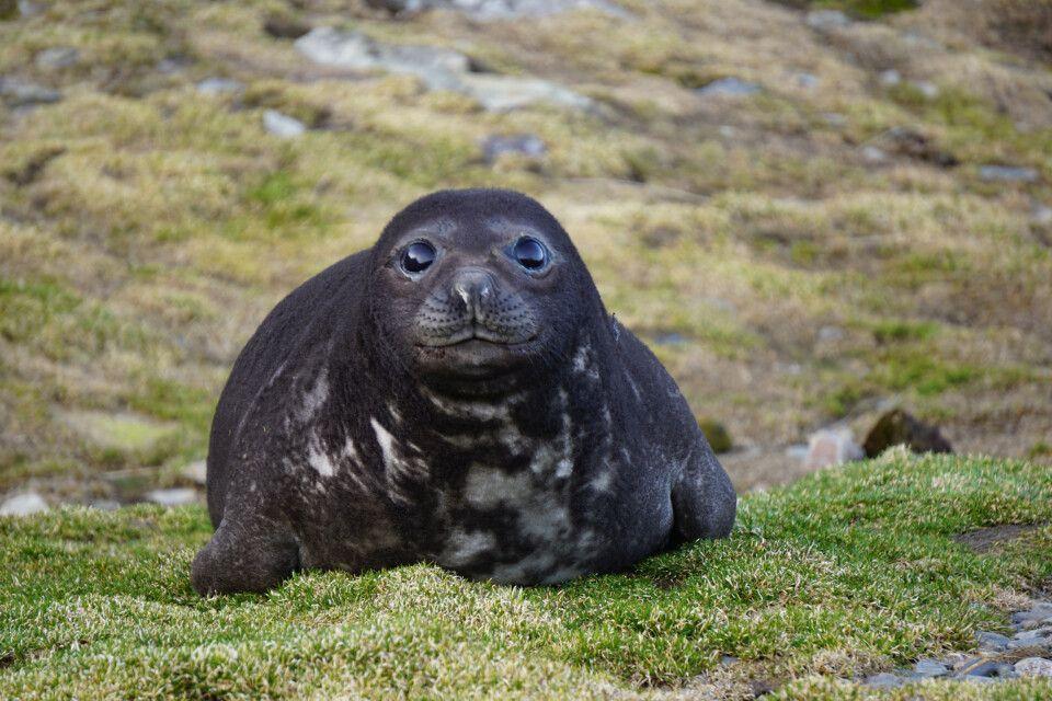 Kleiner Seeelefant